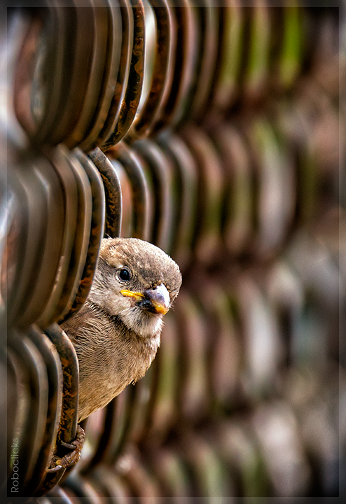 Peek-a-boo_house sparrow
